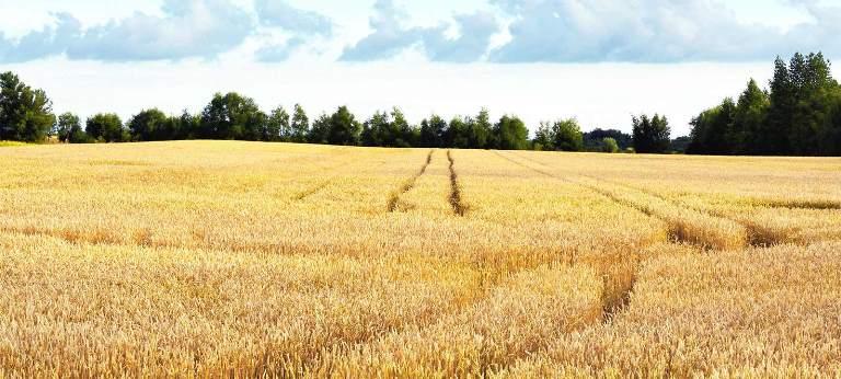 افزایش 6 دلاری قیمت گندم و خوراک دام در بازارهای جهانی