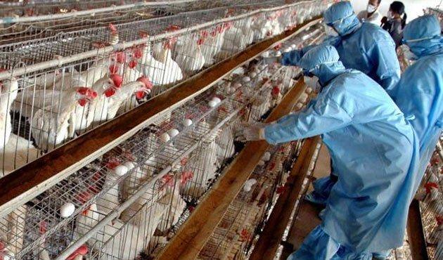 10 میلیون مرغ تخم گذار در کشور به دلیل آنفولانزا تاکنون معدوم شده اند