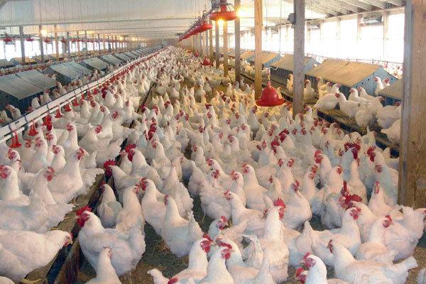 معدوم شدن ١١ میلیون قطعه مرغ طی ٣ماه