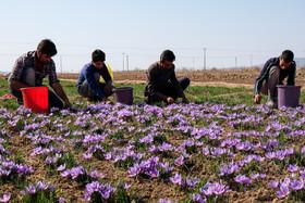 رشد ۴۶درصدی صادرات زعفران/قیمت به ۱۱ میلیون تومان رسید