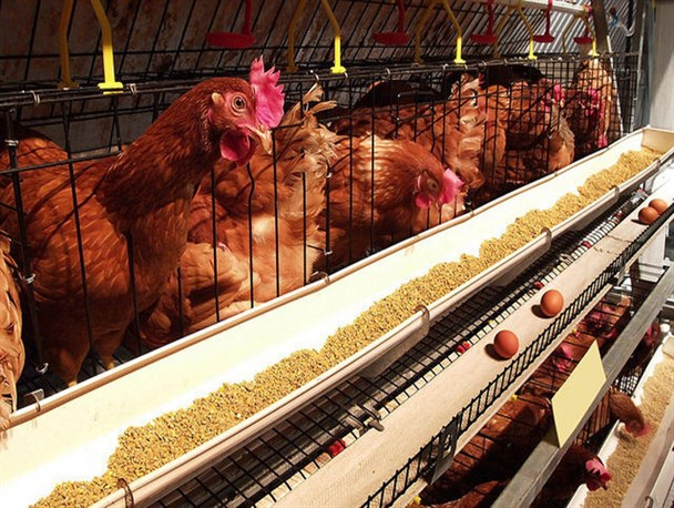 ممنوعیت صادرات مرغ ابلاغ شد