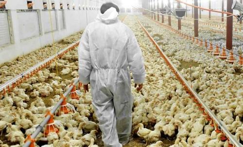 چرا نرخ مرغ پرکشید؟