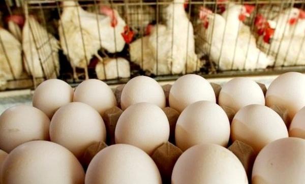 ممنوعیت خروج از مرز استانی دلیل کمبود و مازاد تولید مرغ
